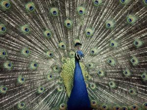 blue-peacock-keiser_1338_600x450